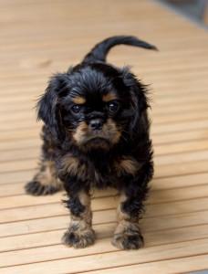 cavalier puppy 9 weeks-237