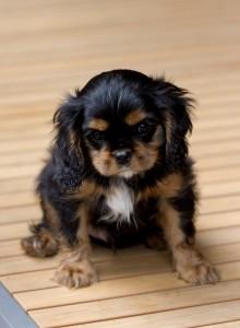 cavalier puppy 9 weeks-264
