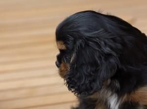 cavalier puppy 9 weeks-266