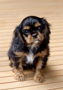 cavalier puppy 9 weeks-279