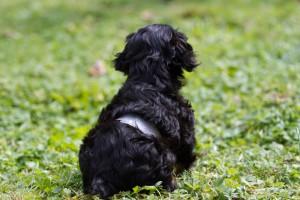 cavalier puppy 9 weeks-39
