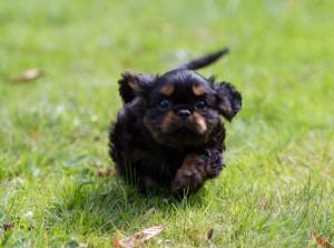 cavalier puppy 9 weeks-7