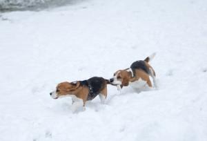 beagle snow day-14