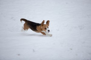 beagle snow day-3