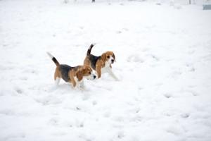 beagle snow day-33