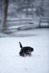 beagle snow day-6