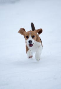 beagle snow day-9
