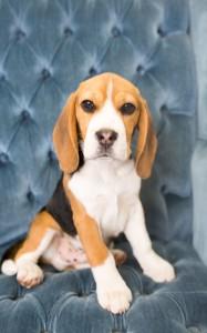 beagles 4 months-13