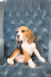 beagles 4 months-14