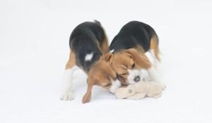 beagles 4 months-18