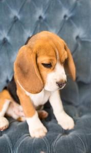 beagles 4 months-9