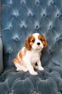 cavalier babies 7 weeks-25