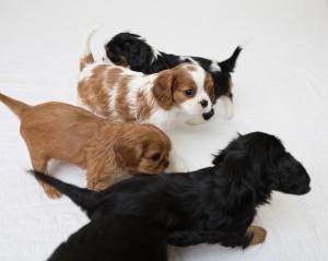 cavalier babies 7 weeks-3
