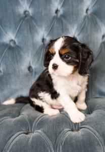 cavalier babies 7 weeks-31