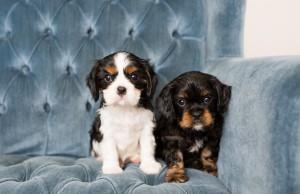 cavalier babies 7 weeks-40