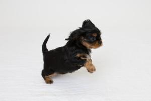 cavalier babies 7 weeks-6