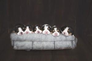 beagle 1 week-1