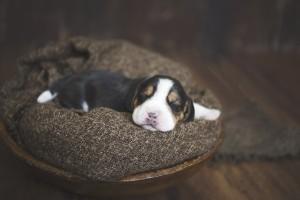 beagle 1 week-12