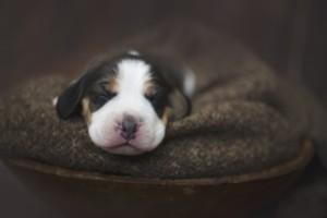 beagle 1 week-15