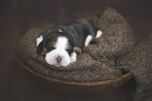 beagle 1 week-20