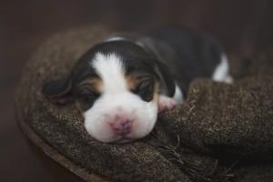 beagle 1 week-21