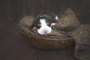 beagle 1 week-26
