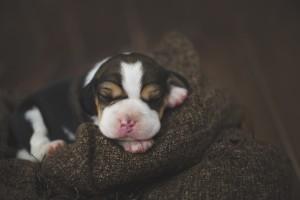 beagle 1 week-33