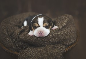 beagle 1 week-35