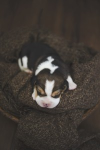 beagle 1 week-36