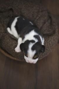 beagle 1 week-44