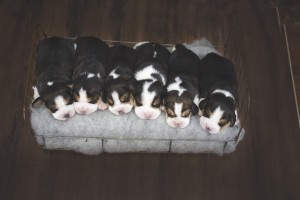 beagle 1 week-5