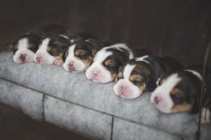 beagle 1 week-6