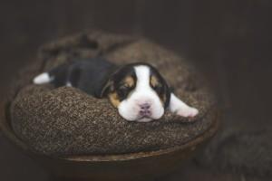 beagle 1 week-9