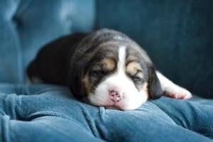 stella puppy