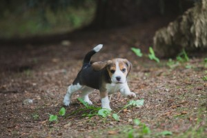 beagle akc 6 weeks-13