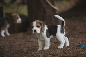beagle akc 6 weeks-16