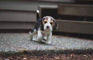 beagle akc 6 weeks-20