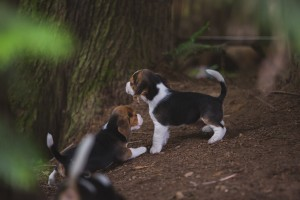 beagle akc 6 weeks-23