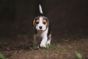beagle akc 6 weeks-27