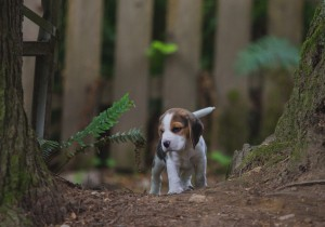 beagle akc 6 weeks-30