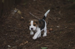 beagle akc 6 weeks-34