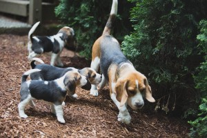 beagle akc 6 weeks-41