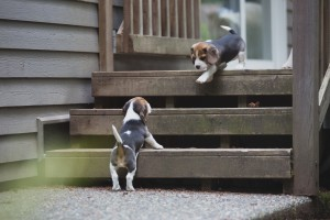 beagle akc 6 weeks-48