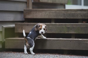 beagle akc 6 weeks-50