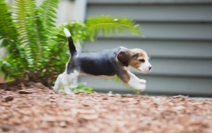 beagle akc 6 weeks-6
