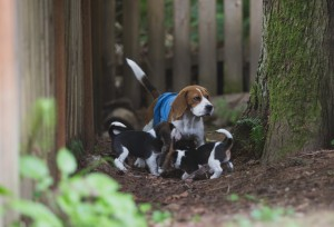 beagle akc 6 weeks-8