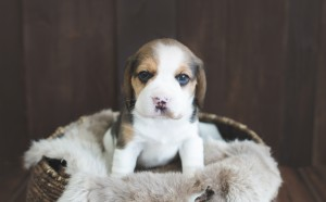 beagle puppy 4 weeks-3