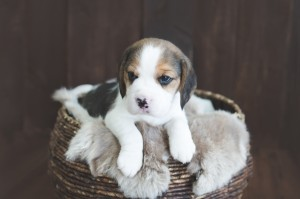 beagle puppy 4 weeks-4
