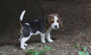 Beagle 8 weeks-11