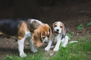 Beagle 8 weeks-15